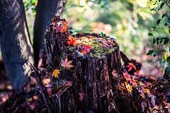 Fallen Leaves (moaan) Tags: kobe hyogo japan jp autumn fall autumncolors fallcolors autumnleaves maple mapleleaves momiji japanesemaple tree trunk treetrunk fragile dof bokeh bokehphotography nature naturephotography utata 2017 canoneos5dsr zeissotus1455ze otus1455