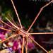 JRR_2296 - Arrow crab