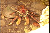 Coconut Crab in sacred Cave, Misali Island (Anghio Walser) Tags: pemba island beauty crab hermit stardust sky flying fox animal cloud