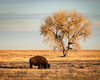 Bison and Tree (droy0521) Tags: plains rockymountainarsenal events animal landscape grass buffalo mammal seasons colorado outdoors fall wildlife bison places prairie denver unitedstates us