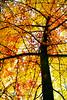 Ginkgo (Monica Muzzioli) Tags: ginkgo tree autumn fall leaves yellow textures nature autunno foglie giallo albero