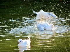 """ I'm off "" (seanwalsh4) Tags: imoff gulls nature splash makemesmile fun"
