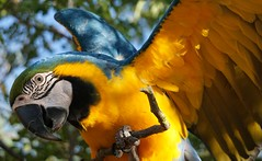 Honey 63 (ChrisF Photography) Tags: macaw blue gold parrot exotic tree outdoors beautiful adorable animal bird leaves green nature