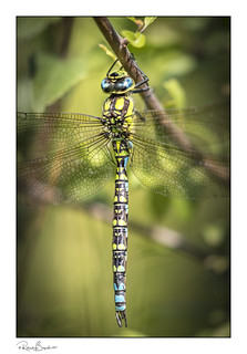Just hangin' - Southern Hawker Dragonfly