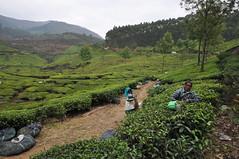 India - Kerala - Munnar - Tea Plantagen - Harvest - 241 (asienman) Tags: india kerala munnar teaplantagen asienmanphotography