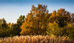 Autumn colours (tokyobogue) Tags: tokyo japan arakawa nikon nikond7100 d7100 autumn colours orange yellow trees