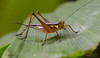 Common Bush Cricket (Nisitrus vittatus) (arvinbenitez) Tags: grasshopper cricket