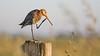 Grutto - Black-Tailed Godwit (Wim Boon (wimzilver)) Tags: grutto wimboon weidevogel blacktailedgodwit bleskensgraaf alblasserwaard nederland netherlands canon300mmf4lis14ex canoneos5dmarkiii