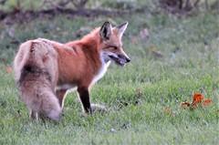 Comme vous me semblez gentil Monsieur le Renard! (anniebevilacqua) Tags: faune montréal red fox renard roux wildlife animal québec