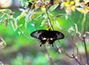 Butterfly beauty (KamPhotography3) Tags: butterfly black garden green naturebeauty beauty titli flies fly bokeh canon750d canonphotography canon50mm canonshots bangalore parks kamphotos33 macro
