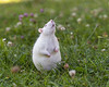 Looking up (Tambako the Jaguar) Tags: rat rodent white albino lookingup cute pet macro grass flowers switzlerland nikon d5
