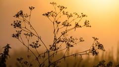 morgens auf den Elbwiesen (diwan) Tags: germany deutschland sachsenanhalt saxonyanhalt magdeburg stadt city place elbwiesen sonne sun sonnenaufgang sunrise plant silhouette color fotogruppe fotogruppemagdeburg canonefs55250f456is canoneos650d canon eos 2012 geotagged geo:lon=11673009 geo:lat=52096523