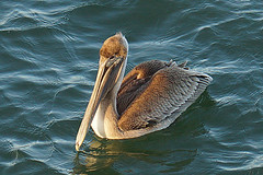 pelican in the morning sun (purduebob) Tags: pier pelicans