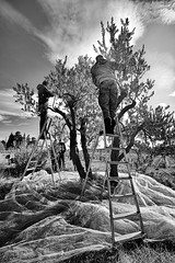 Cueillette-des-olives (RS...) Tags: cuillette olives bauxdeprovence noiretblanc blackandwhite d7200 olivepicking