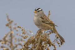 White-crowned Sparrow / Bruant à couronne blanche (shimmer5641) Tags: zonotrichialeucophrys whitecrownedsparrow bruantàcouronneblanche songbird sparrowsfamily birdsofbritishcolumbia britishcolumbiacanada birdsofnorthamerica