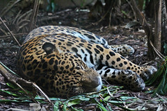IMG_0911 (jaybluejeans94) Tags: zoo nature chester chesterzoo cat cats jaguar panther animal animals bigcat