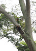 IMG_6774 (trevor.patt) Tags: redbreasted parakeet nesting bird singapore bishan sg