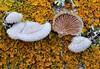 Schizophyllum-comune y Xanthoria parietina (Lucas Gutiérrez) Tags: schizophyllumcomune funghi hongo liquen xanthoriaparietina tajosdealhama granada grandanatural lucasgutierrezjimenez