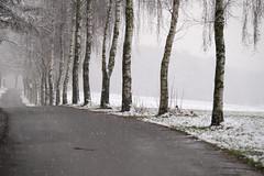 first snow (Werner Schnell Images (2.stream)) Tags: ws first snow birken trees schnee winter