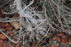 Trichodiadema bulbosum (Haw.) Schwant. - Orto Botanico di Cagliari - Sardinia