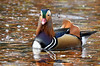 Mandarin duck (F VDS) Tags: mandarin duck bird pond water autumn leaves swimming forest sonian animal nikon d500