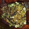 2017_11_0216 (petermit2) Tags: trumpetlichen lichen cladonia cladoniafimbriata fungi fungus hatfieldmoors hatfield lindholme doncaster southyorkshire yorkshire peat bog humberheadpeatlands humberhead naturalengland nnr