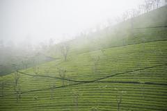 Misty Moisty Morning (p.i.n.o.c.c.h.i.o) Tags: tea teagardens mist fog foggy nikon24120mmf4 nikond750