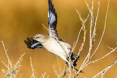 Northern Mockingbird (Bob Gunderson) Tags: alamedacounty arrowheadmarsh birds california eastbay northerncalifornia northernmockingbird
