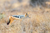 Black Back Jackal (mayekarulhas) Tags: krugerpark mpumalanga southafrica za jackal blackbacked wildlife wild canon canon500mm carnivores