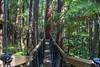 Redwoods Treewalk Rotorua (vicmarnz) Tags: rotorua newzealand hdr treewalk redwoods