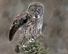 IMG_8302nxl (4President) Tags: great gray owl saxzim bog minnesota