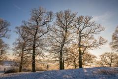 Trees on a Hill (Helmuth of Boskone) Tags: trees winter northamptonshire sunrise snow crick england unitedkingdom gb crackshill frost