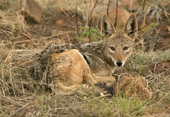 The day of the Jackal (Pete Foley) Tags: africa safari pilansburgnaturereserve nikond800 petefoleyphotography animal naturephotography overtheexcellence littlestories