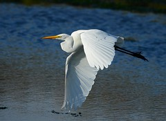 Great Egret (KoolPix) Tags: greategret egret bird beak feathers wings flying flight bif birdinflight koolpix jaykoolpix naturephotography nature wildlife wildlifephotos naturephotos naturephotographer animalphotographer wcswebsite nationalgeographic fantasticnature amazingnature wonderfulbirdphotos animal amazingwildlifephotos fantasticnaturephotos incrediblenature naturephotographywildlifephotography wildlifephotographer mothernature