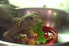 Great Salad Bar (MTSOfan) Tags: uromastyx lizard spinytailedlizard prehistoric moderndinosaur lvz eating lunch bowl egyptianuromastyx