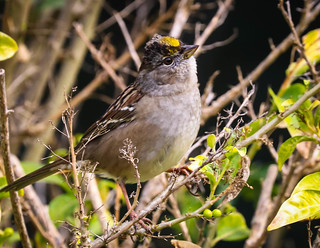 Golden-crowned Sparrow migrating bird South Coast Botanic Garden Palos Verdes Pennisula California  026