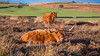 Relaxing (Lee~Harris) Tags: cattle highlandcattle nature landscape cow peakdistrict light field outdoor flickr contrast colour foliage rugged animal animalphotography
