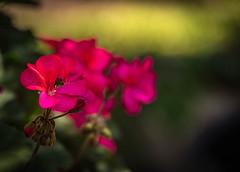 Happy Bokeh Wednesday (Jims_photos) Tags: outdoor outside adobelightroom adobephotoshop shadows daytime flowers jimallen jimsphotos jimsphotoswimberleytexas lightroom nopeople nikond750 bokeh