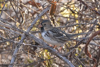 Harris's Sparrow (Rare) Prince George's, MD. 12/3/17