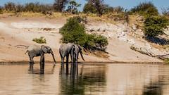 On the Boteti River, La Too La Tau, Botswana (donnatopham) Tags: botswana laroolatau elephant