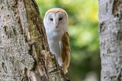Barn Owl - Tyto alba (Liquidparadox) Tags: barnowl tytoalba canon 100400mm 1dx2