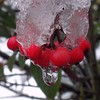 Contest on Red. H2O on Cotoneaster, Our Garden, Venlo, The Netherlands (Rana Pipiens) Tags: h2o water droplet cotoneaster surfacetension surfacearea gravity snow ice volume ourgardenvenlothenetherlands nature berries watermolecules sony sphere liquid
