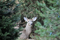 chillin' buck in the backyard (karma (Karen)) Tags: baltimore maryland home backyard deer buck trees spruce branches bokeh dof cmwd topf25