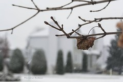 10 Décembre 2017 (marjo_rie1) Tags: feuille hiver hivernale
