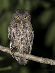 Pacific Screech Owl (Megascops cooperi) (Jorge Chinchilla A.) Tags: pacific screech owl megascops cooperi laceiba orotina alajuela costarica américacentral owls birds birdwatcher birdphoto avesdecostarica jorgechinchilla neotropicalbirds ngc costaricabirds