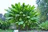 Musa sp. --  a banana plant 0863 (Tangled Bank) Tags: sarahpdukegardens durhamnorthcarolinaplantflorabotanybotanicalgardenplants