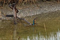 martin pêcheur (mduthet) Tags: martinpêcheur photodemado faunes oiseaux estuairedelorne sallenelles calvados normandie