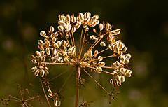 Flor de hinojo (portalealba) Tags: cómpeta axarquía málaga andalucía españa spain portalealba canon eos1300d flores