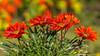 natürlicher Blumenstrauß - natural bunch of flowers (ralfkai41) Tags: garden pflanzen closeup blossom flower blüten nature mittagsgold gazanie garten natur blumen