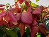 Red Flower or Leaf? (Sadot Arefin) Tags: bangladesh dhaka mohammadpur বাংলাদেশ ঢাকা canon canonpowershot sx50 canonpowershotsx50hs powershot powershotsx bridgecamera pointnshoot pointshoot flower flora patel ফুল লালফুল পাতা বাগানেরফুল বাগান redflower leaf leafflower